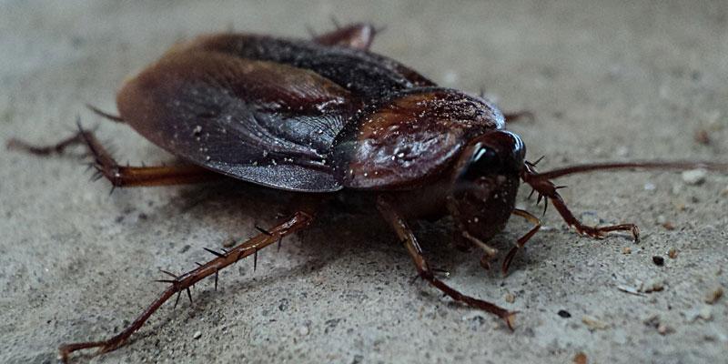 Essex pest control cockroach