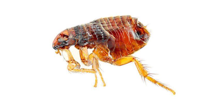 Essex pest control flea